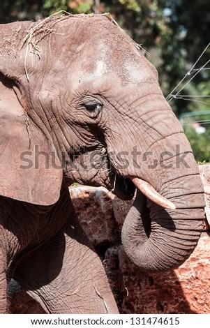 big wild elephant head - stock photo