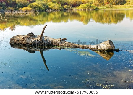 Big wooden log floating on the old pond surface in fine autumn day, blue sky reflected in the water