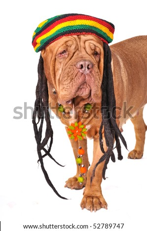 Big Wrinkled French Mastiff in Rastafarian Hat with Dreadlocks - stock photo