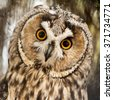 Big yellow eyed eagle owl looking at you with attention - stock photo