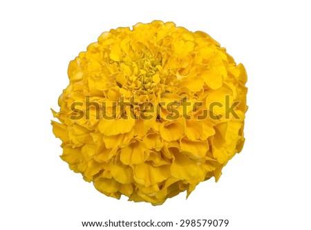 big yellow flower on white background  - stock photo