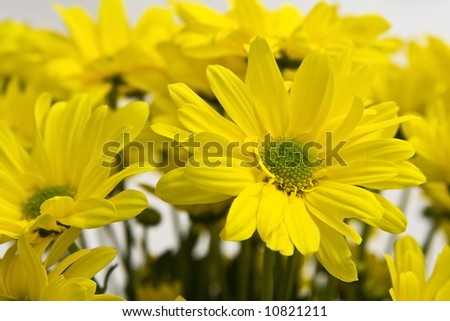 Big, yellow marguerites on a white background