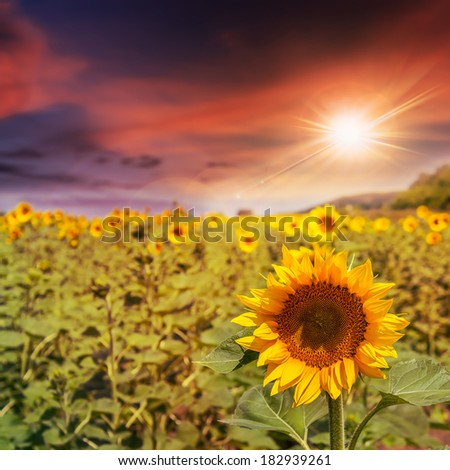 big yellow sunflower head in a field on a background of blue sky at sunset