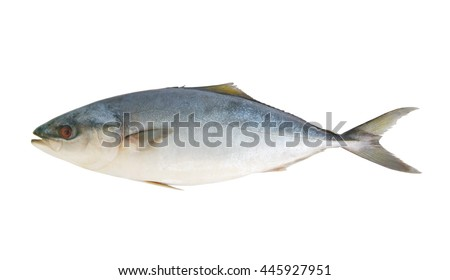 Big yellowtail amberjack fish, Seriola lalandi, isolated on white background