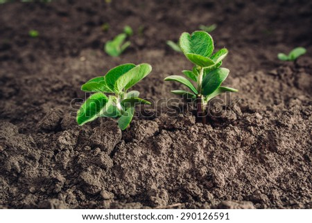 big young and green leaves of soybean. Healthy eating - stock photo