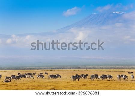 Big zebras herd standing in front of Kilimanjaro - stock photo