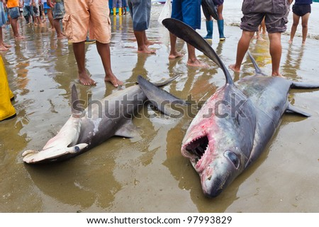 Bigeye thresher shark and hammerhead shark landed on beach by fishermen in Puerto Lopez, Ecuador - stock photo