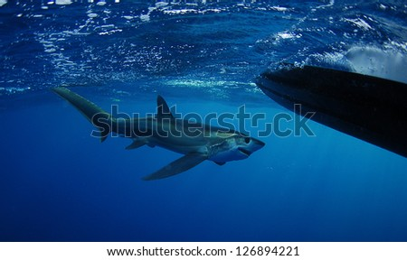 Bigeye Thresher shark swimming in the Gulfstream in the Atlantic Ocean off of South Florida