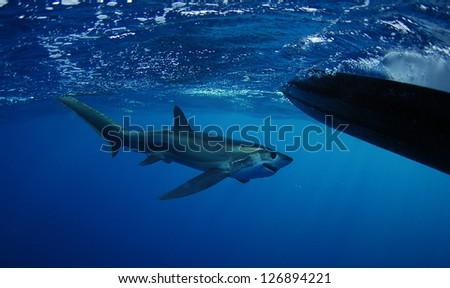 Bigeye Thresher shark swimming in the Gulfstream in the Atlantic Ocean off of South Florida - stock photo