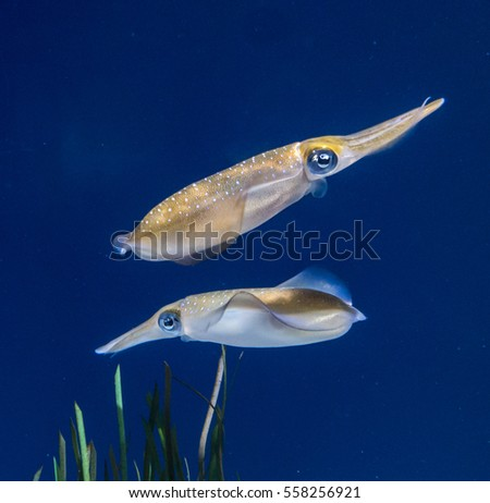 Bigfin reef squid (Sepioteuthis lessoniana) are found in the deep seas the of Indian Ocean, and between northern Australia, New Zealand and Asia.  It is a cephalopod, related to octopus an cuttlefish.