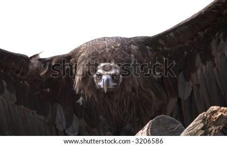 biggest bird close up. Portrait of eagle - stock photo