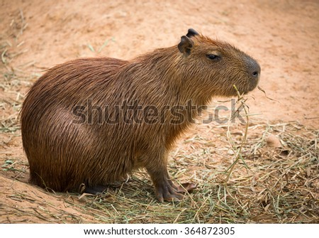 Biggest mouse, Capybara, Hydrochoerus hydrochaeris,  - stock photo
