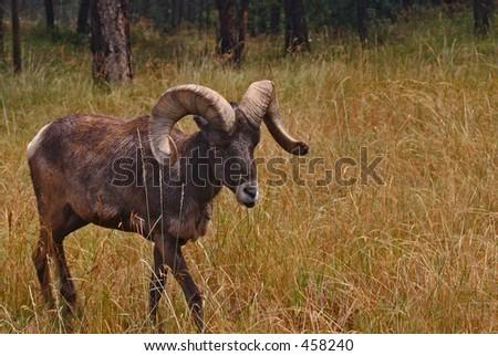Bighorn Ram - stock photo