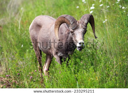 Bighorn ram eating grass with lips curled.