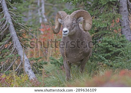 Bighorn Sheep Chewing its Food in the Mountains in Glacier National Park In Montana  - stock photo
