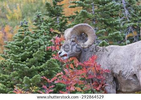 Bighorn Sheep Eating Berries in the Fall in Glacier National Park in Montana - stock photo