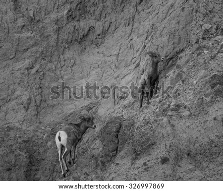 Bighorn sheep in black and white - stock photo