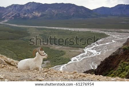 Bighorn Sheep in Denali National Park, Alaska - stock photo