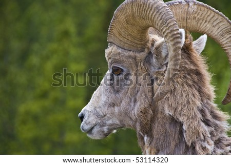 Bighorn sheep in the Rocky Mountains - stock photo
