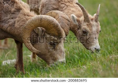 Bighorn sheep male and female - stock photo