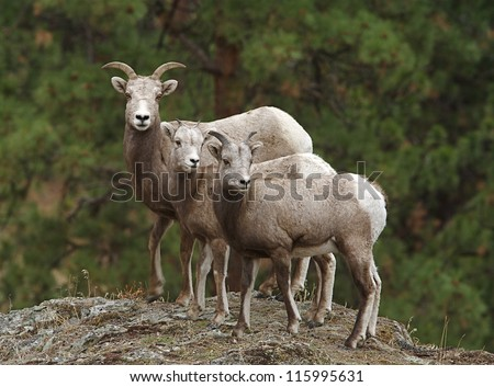 Bighorn Sheep, mother and twin lambs, selective focus on the near lamb, Rocky Mountains,  USA; mother and child wildlife & nature photography - stock photo