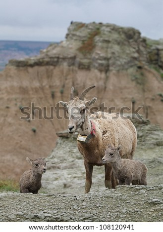 Bighorn Sheep, mother with twin lambs and a scenic background, Badlands National Park - stock photo