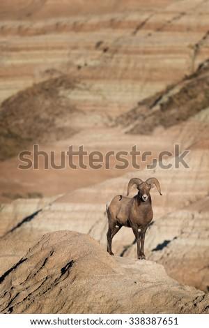 Bighorn sheep near Dillon Pass in Badlands National Park near Wall, South Dakota  - stock photo