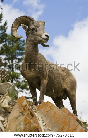 Bighorn sheep ram in Banff National Park, Alberta, Canada. - stock photo