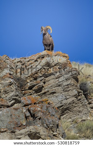 Bighorn sheep ram on rocky cliff overlook with grass and blue sky
