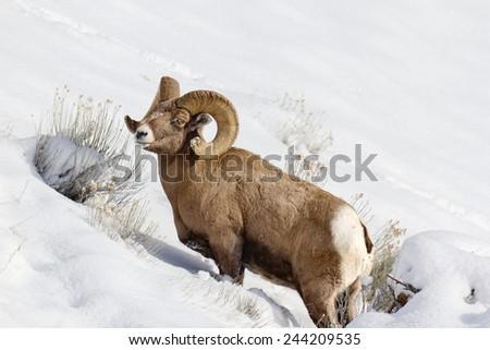 Bighorn sheep walking in snow at Yellowstone National Park. - stock photo