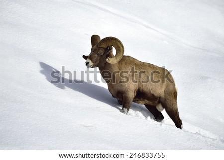 Bighorn sheep walking on snowy hillside in Yellowstone National Park. - stock photo