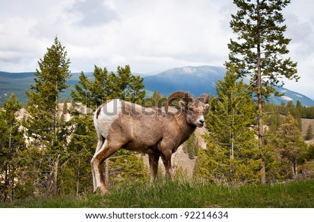 Bighorn wild sheep (Ovis canadensis) Ram - stock photo