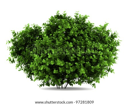 bigleaf hydrangea bush isolated on white background - stock photo