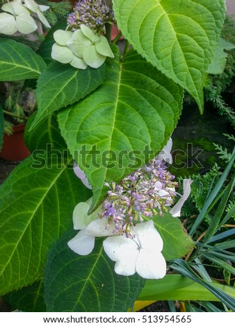 Bigleaf hydrangea (Hydrangea macrophylla) is a species of flowering plant in the family Hydrangeaceae, native to China and Japan.