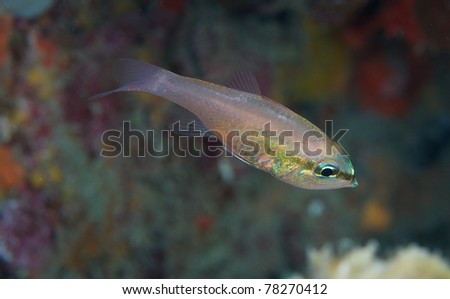 Bigtooth Cardinalfish hovering in sheltered area of reef.