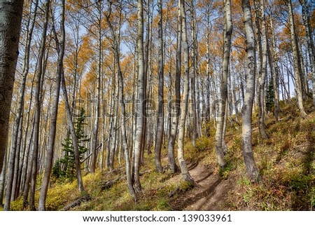 Bike or hiking trail goes through the autumn aspen trees in Utah/ The Trail Through the Aspens - stock photo