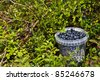 Bilberries gathered in the basket in their natural surroundings - stock photo