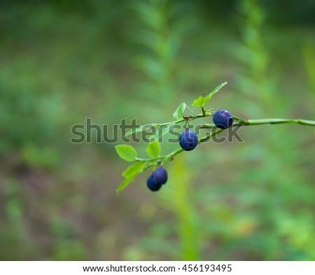 bilberry in the wood,ripe, beautiful - stock photo