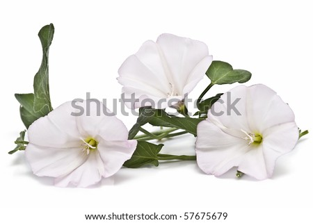 Bindweed flowers isolated on a white background. - stock photo