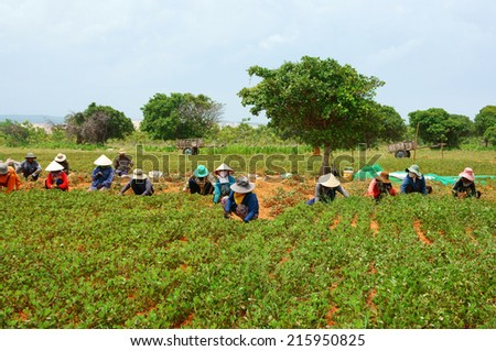 BINH THUAN, VIETNAM- SEPT 4: Group of Asia farmer working on agriculture plantation,  Vietnamese family  harvest peanut on red soil, crowded scene on day, primitive agricultural,Viet Nam, Sept 4, 2014