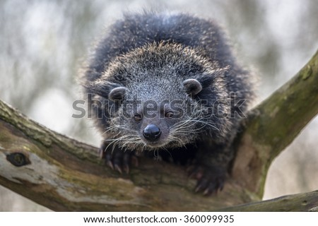 Binturong or bearcat (Arctictis binturong). The binturong is widespread in south and southeast Asia occurring in Bangladesh, Bhutan, Myanmar, China india and indonesia - stock photo