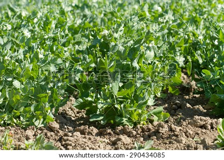 Bio peas field detail  - stock photo