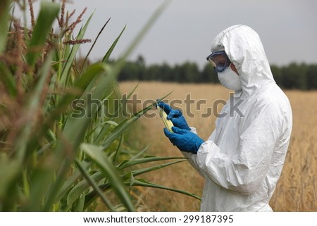 bio technology professional in uniform goggles,mask and gloves examining corn cob on field