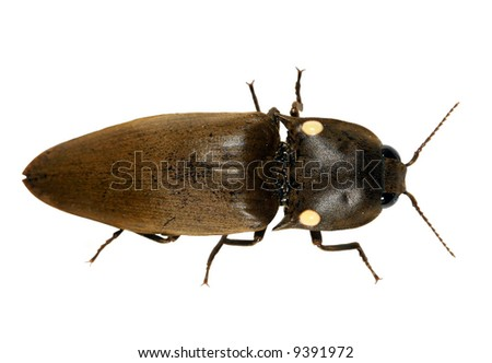 Bioluminescent click beetle Pyrophorus by day - stock photo