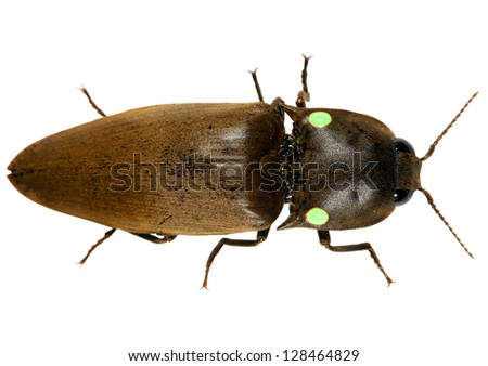 Bioluminescent Click Beetle (Pyrophorus luminosus) from the Ecuadorian Amazon - stock photo