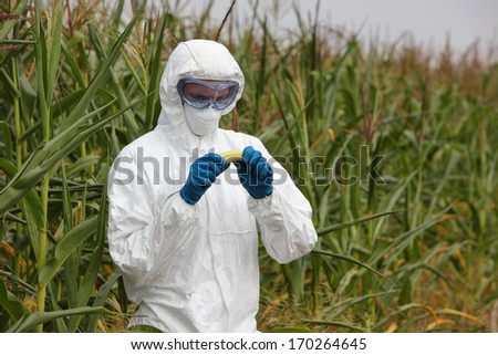 biotechnology engineer examining  corn cob on field - stock photo