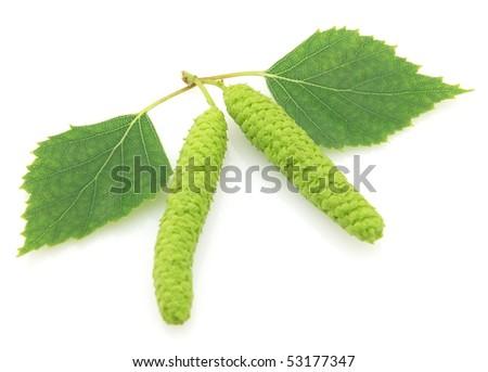 Birch - stock photo