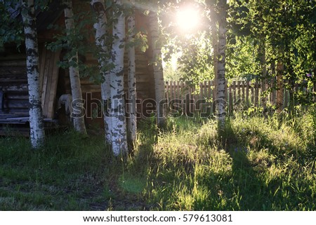 birch and grass on sunset countryside