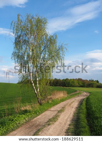 Birch and road in spring- vertical - stock photo