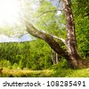 Birch at the Small Arber Lake in National Park Bavarian Forest - Germany - stock photo